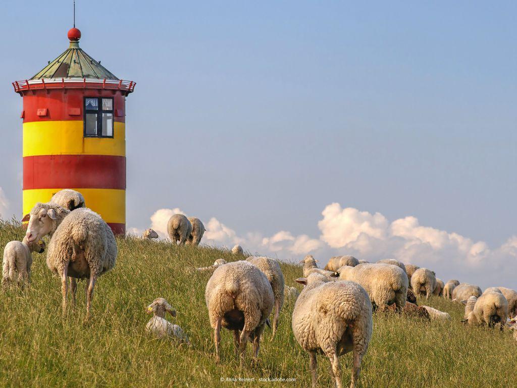 Bild Pilsumer Leuchtturm Hero Schafe