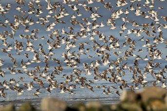"""13. Zugvogeltage: Rallye zu den """"Hotspots"""" der Vogelbeobachtung"""